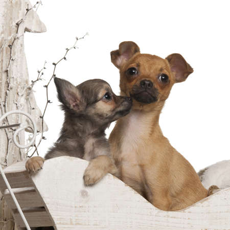chihuahua 3 months old: Chihuahua puppies, 4 months and 3 months old, in Christmas sleigh in front of white background