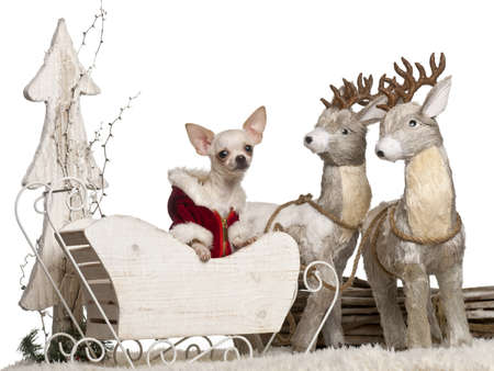 Chihuahua, 7 months old, in Christmas sleigh in front of white background photo