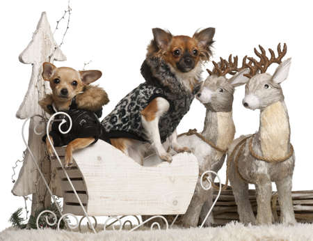 6 9 months: Chihuahua puppy, 6 months old, and Chihuahua, 9 months old, in Christmas sleigh in front of white background