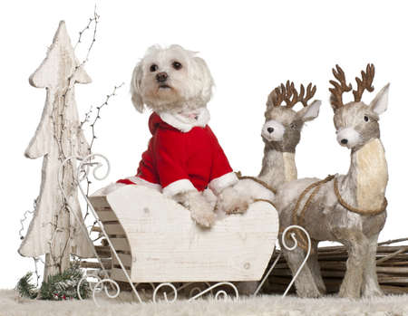 Maltese, 1 year old, in Christmas sleigh in front of white background photo