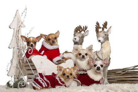 Chihuahuas in Christmas sleigh in front of white background photo