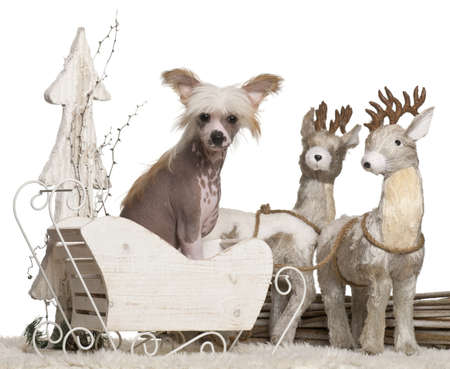 Chinese Crested Dog puppy, 4 months old, in Christmas sleigh in front of white background Stock Photo - 13591957