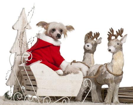 perros vestidos: Chinese Crested Dog cachorro, 4 meses de edad, en la Navidad trineo delante de fondo blanco