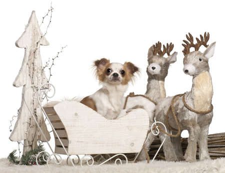 Chihuahua, 1 year old, in Christmas sleigh in front of white background photo