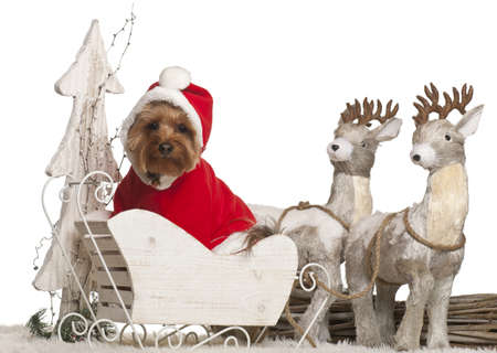 Yorkshire Terrier, 3 years old, in Christmas sleigh in front of white background photo