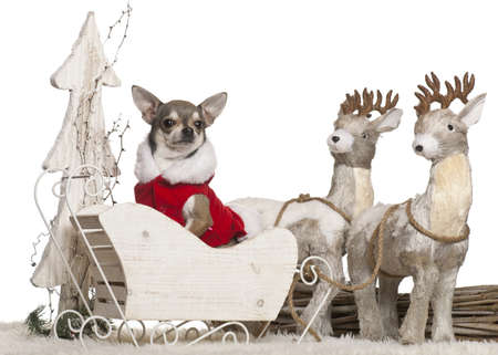 Chihuahua, 3 years old, in Christmas sleigh in front of white background photo
