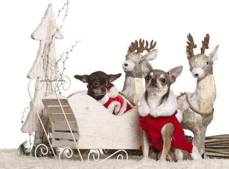 Chihuahuas, 3 years old, in Christmas sleigh in front of white background photo