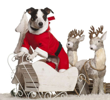 Jack Russell Terrier, 7 year old, in Christmas sleigh in front of white background photo