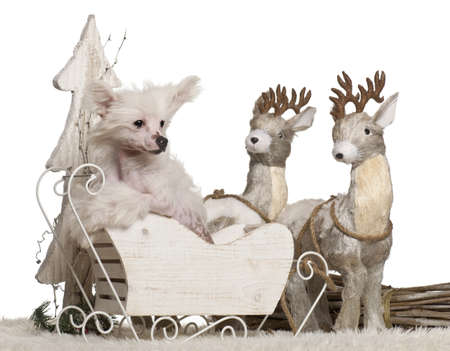 Chinese Crested Dog puppy, 4 months old, in Christmas sleigh in front of white background Stock Photo - 13591907