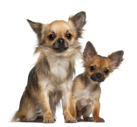 Chihuahuas, 8 months old, in front of white background Stock Photo - 13583951