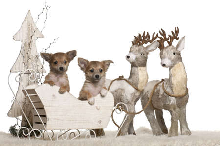 chihuahua 3 months old: Chihuahua puppies, 3 months old, in Christmas sleigh in front of white background Stock Photo