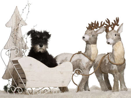 Miniature Schnauzer puppy, 3 months old, in Christmas sleigh in front of white background photo