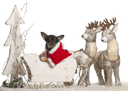 Chihuahua puppy, 5 months old, in Christmas sleigh in front of white background photo
