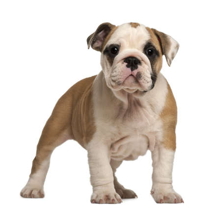 english bulldog: English Bulldog puppy, standing, 2 months old