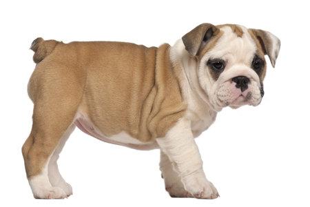 bulldog puppy: side view, English Bulldog puppy, standing, 2 months old