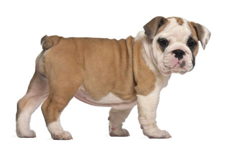 side view, English Bulldog puppy, standing, 2 months old photo