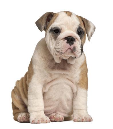 bulldog puppy: English Bulldog puppy, 2 months old
