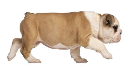 no pase: Bulldog Inglés cachorro, 2 meses de edad