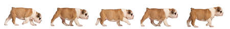 english bulldog puppy: English Bulldog puppy tracking, 2 months old