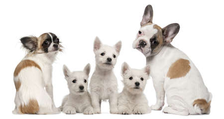 looking over shoulder: Group of dogs in front of white background Stock Photo
