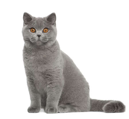 british shorthair: Portrait of British Shorthair cat, 5 months old, sitting in front of white background