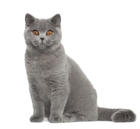gato gris: Retrato de British Shorthair gato, 5 meses de edad, sentado delante de fondo blanco Foto de archivo