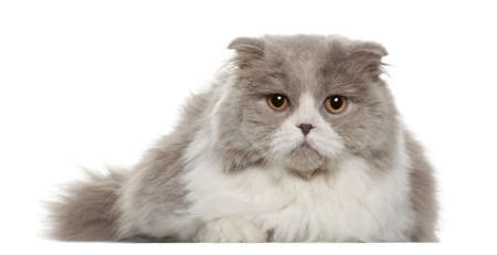 british shorthair: Portrait of British Shorthair cat, 6 months old, in front of white background