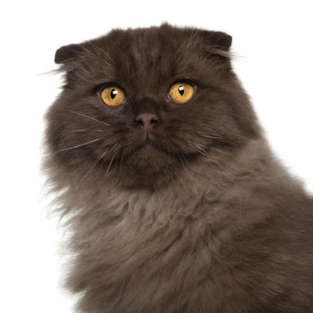 Portrait of Scottish Fold cat, 5 months old, in front of white background photo