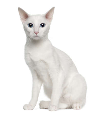 oriental white cat: Portrait of Oriental Shorthair cat, 3 years old, sitting in front of white background