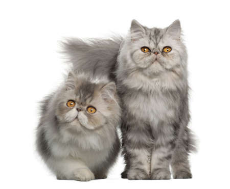 gray cat: Portrait of Persian cat, 7 months old,, sitting in front of white background
