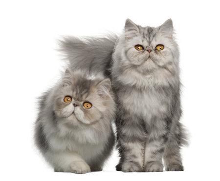 Portret van Perzische kat, 7 maanden oud,, zittend voor een witte achtergrond