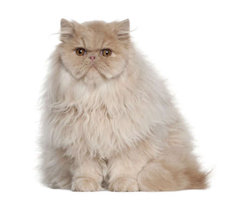 Portrait of Persian cat, 5 months old, sitting in front of white background photo