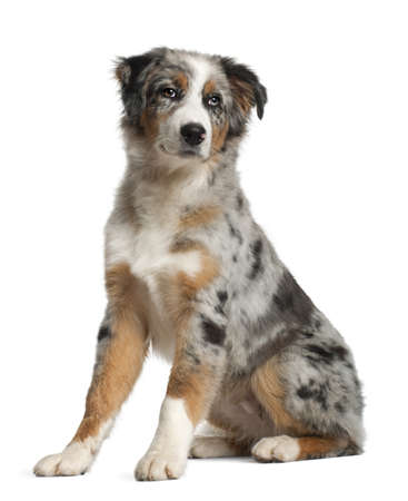 Portrait of Australian Shepherd, 5 months old, sitting in front of white background photo