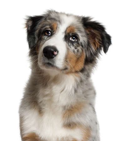 australian shepherd: Portrait of Australian Shepherd, 5 months old, in front of white background