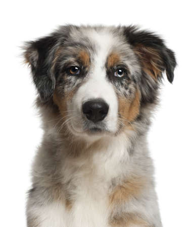 Portrait of Australian Shepherd, 5 months old, in front of white background photo