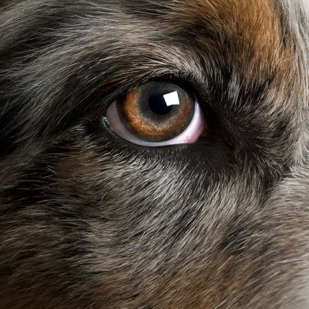 eye close up: Close up of dogs eye, Australian Shepherd