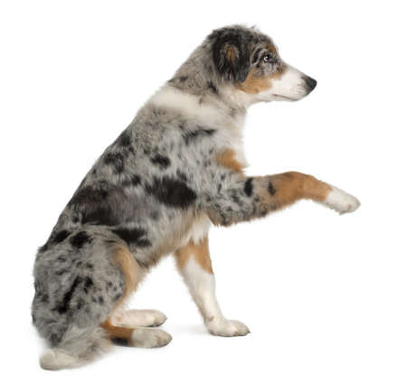 Puppy Australian shepherd playing, 5 months old, sitting in front of white background Zdjęcie Seryjne - 13582556