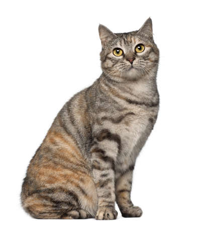 Kurilian Bobtail cat, 1 year old, sitting in front of white background photo