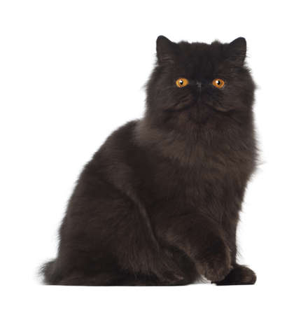 Portrait of Persian cat, 7 months old, sitting in front of white background photo