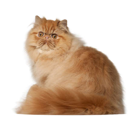 orange cat: Portrait of Persian cat, 7 months old, sitting in front of white background