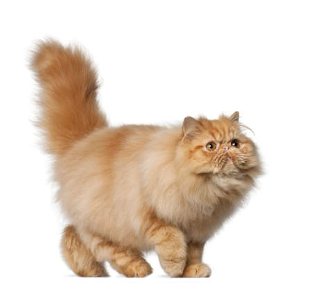 Persian cat, 7 months old, in front of white background