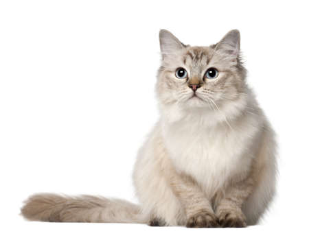 ragdoll: Ragdoll cat, 10 months old, sitting in front of white background Stock Photo
