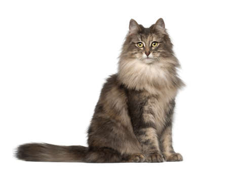 feline: Portrait of Norwegian Forest Cat, 1 and a half years old, sitting in front of white background Stock Photo