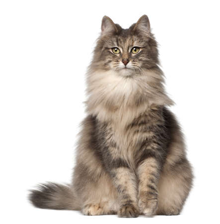 white cats: Portrait of Norwegian Forest Cat, 1 and a half years old, sitting in front of white background Stock Photo