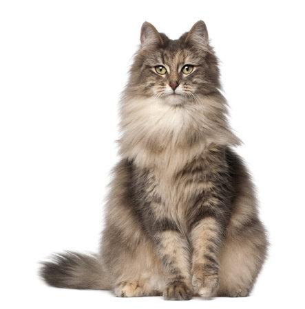 gato gris: Retrato de Bosques de Noruega, 1 y medio a�os de edad, sentado delante de fondo blanco