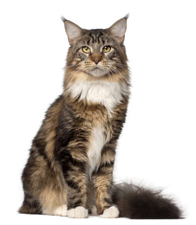 coon: Portrait of Maine Coon cat, 10 months old, sitting in front of white background