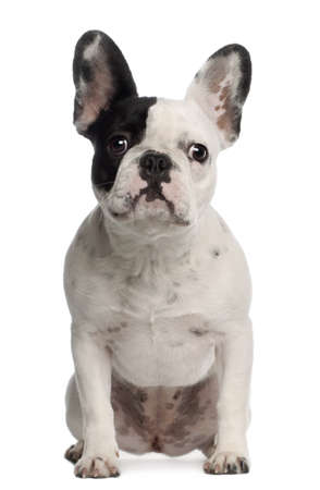 Portrait of French Bulldog, 8 months old, sitting in front of white background photo