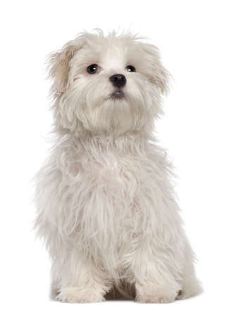 Maltese puppy, 5 months old, sitting in front of white background photo