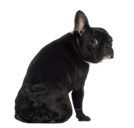 Portrait of French Bulldog, 13 months old, sitting in front of white background photo