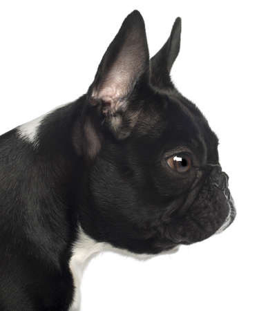profile view: Close up of French Bulldog, 13 months old, in front of white background Stock Photo